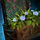 Lattice Planter with Blue Petunias.png