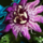 Passion Flower.png
